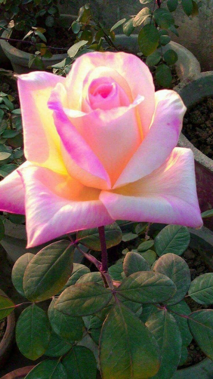 664 best roses for my heart images on pinterest beautiful flowers beautiful roses flower gardening flowers garden flower power david austin roses fresh flowers pink roses blossoms flowering bushes izmirmasajfo