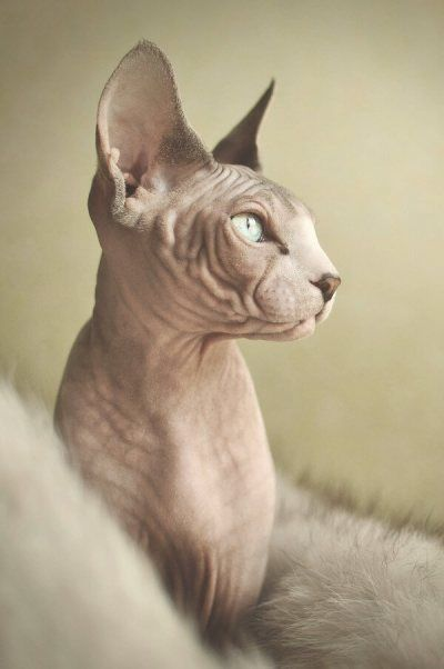 gato sphynx                                                                                                                                                                                 Más