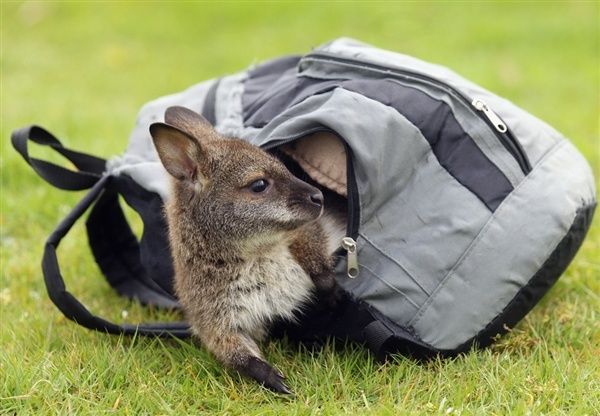 Orphaned baby wallaby lives in a rucksack (Oli Scarff / Getty Images): Orphan Baby, Awesome Animal, Mothers Pouch, Animal Baby, Whipsnad Zoos, Baby Wallabi, Zsl Whipsnad, The Zoos, Cute Baby Animal