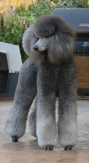 Pc010149 Gray standard poodle