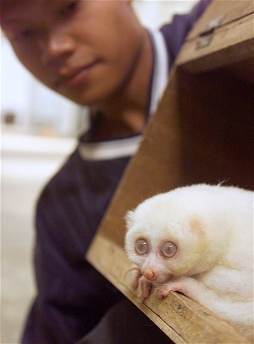 JAK03D:CINANGKA,INDONESIA,23JUL99 - An Indonesian animal keeper shows off a one-and-a-half-year old male albino Slow Loris (Nycticebus Coucang) in Albino Animal Breeding Farm in Cinangka on the outskirt of Jakarta July 23. At least five species have been bred and prepared for sale domestically and abroad. en/Photo by Enny Nuraheni