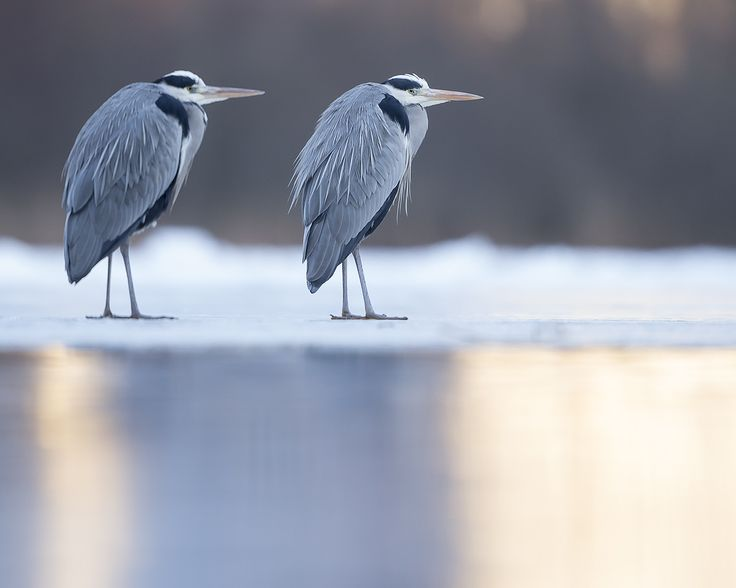 The Blues Brothers (Greyherons) on a visit in Stockholm.