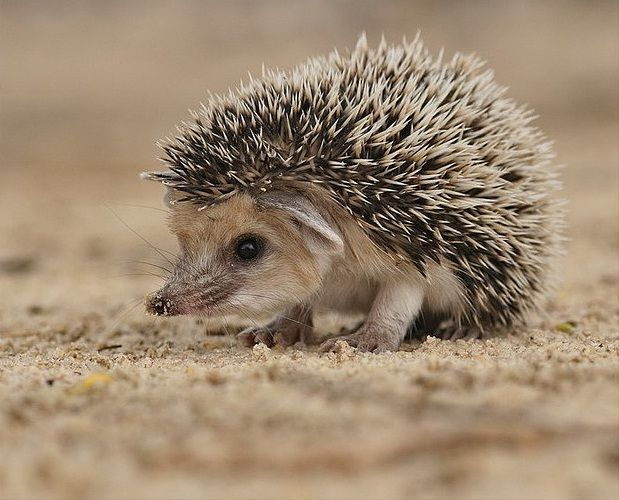 Long Ear Hedgehog