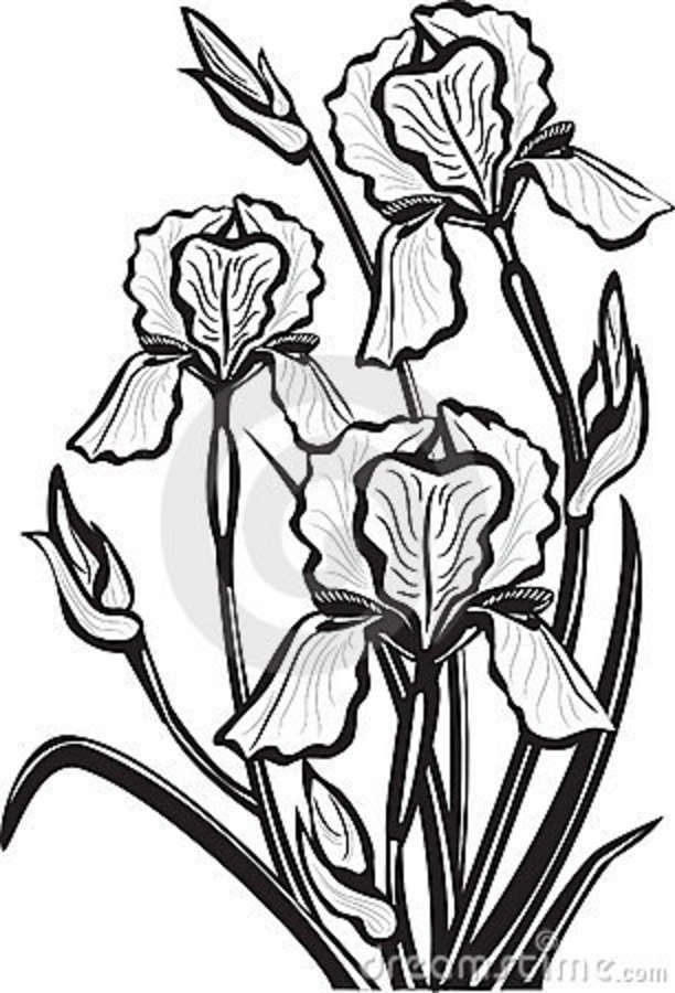 Line Drawing Iris Flower : Best images about irises on pinterest bearded iris