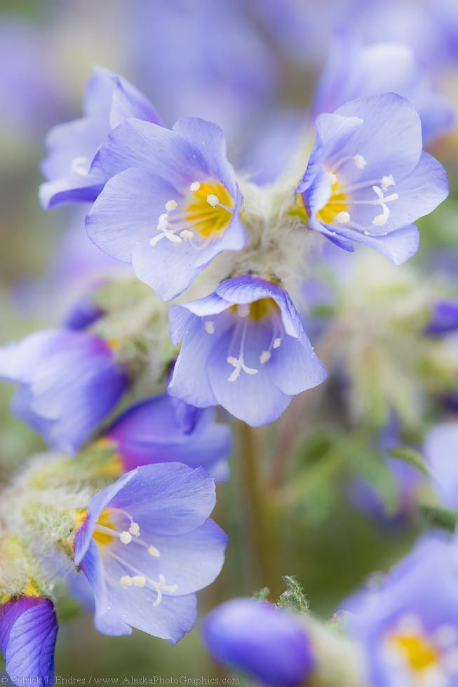 Www Bing Comhellao: 255 Best Images About Wild Flowers & Meadows On Pinterest