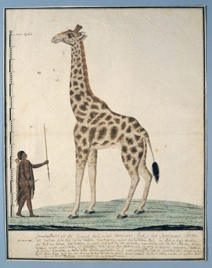 Robert Jacob Gordon, Giraf met links een Khoi, 1779. Collectie Rijksmuseum