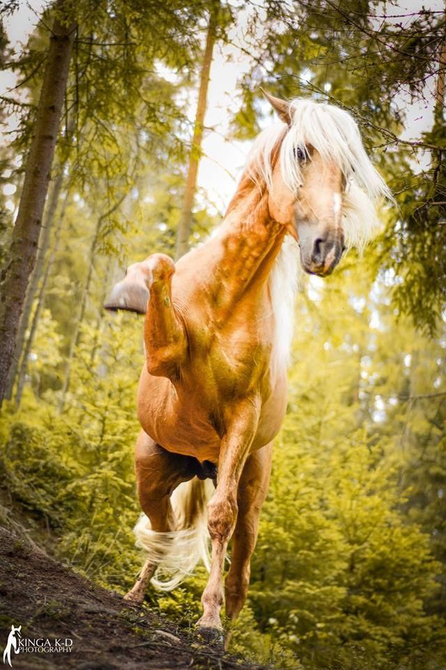 Perla, ogier PSL Stajnia Neptuno Nowy Targ - konie andaluzyjskie Kinga K-D Photography