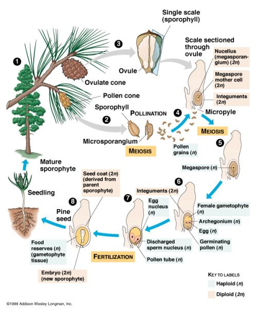 Conifers_life cycle
