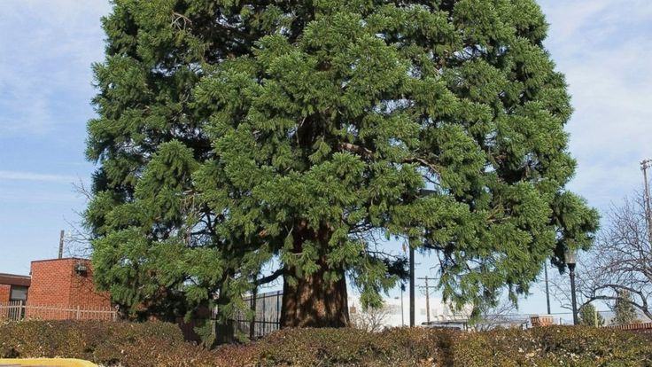 A sequoia seedling that naturalist John Muir sent to Idaho more than a century ago and was planted in a doctor's yard has become a massive tree and an obstacle to progress.  The 98-foot (30-meter) sequoia planted in 1912 is in the way of a Boise hospital's expansion, so it's... - #Blocks, #Expansion, #Idaho, #Moved, #Sequoia, #TopStories