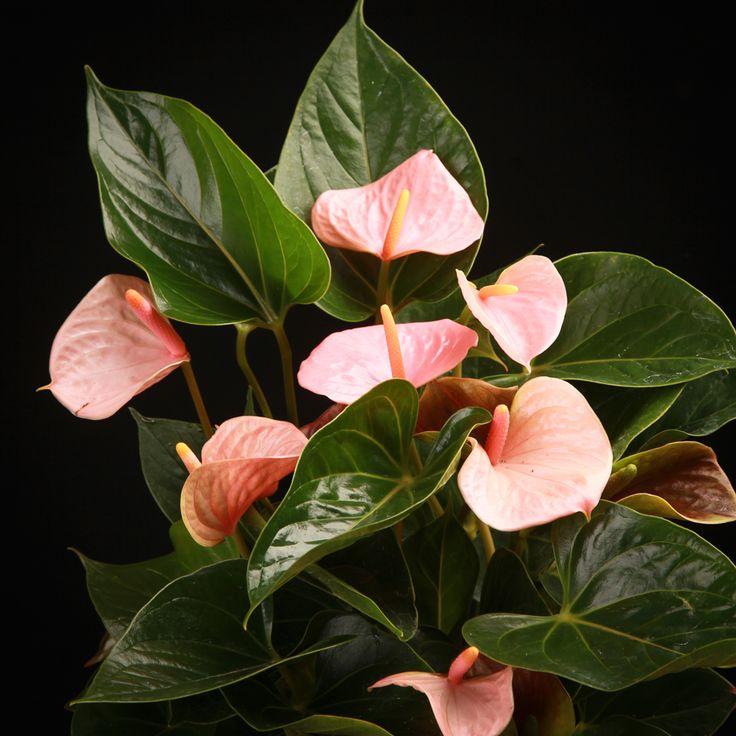 Certi Anthurium Sweet Love, licht roze kamerplanten, bloeiende kamerplanten, Certi #Bloemen, #Planten, #webshop, #online bestellen, #rozen, #kamerplanten, #tuinplanten, #bloeiende planten, #snijbloemen, #boeketten, #verzorgingsproducten, #orchideeën