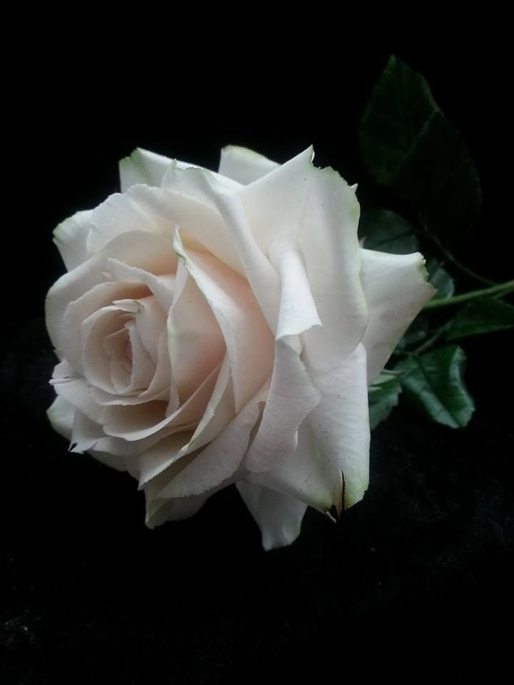 how to make a gumpaste rose using a 5-petal cutter