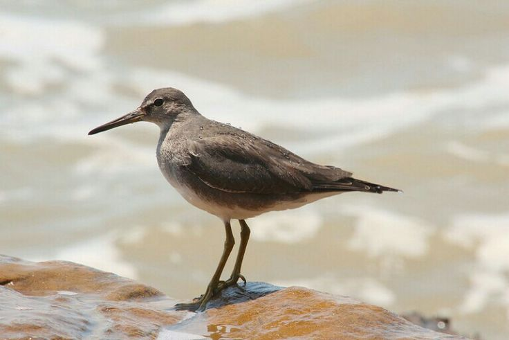 Grey-tailed Tattler, photographed by Lee Mason.