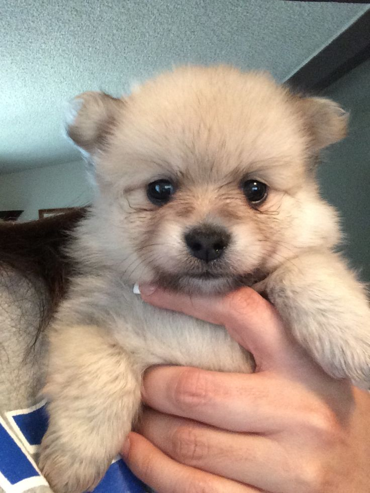 teddy bear face pomeranian dogs pictures to pin on