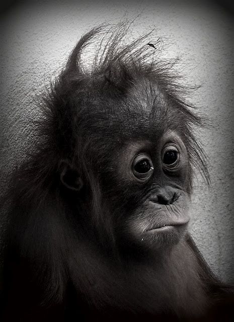 Found this little fella all caged up in Perth Zoo. I think he's longing for a play buddy. Baby orangutan. Captivity. By Ditte Hallig. #orangutan #photography