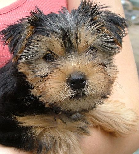 Google Image Result for http://www.dogguide.net/images/allergy-breeds/Yorkie-Puppy.jpg