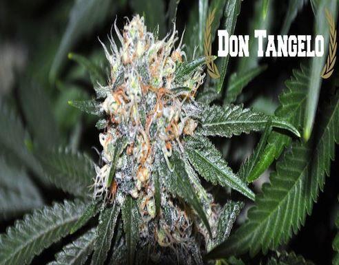 Don Tangelo Regular Cannabis Seeds