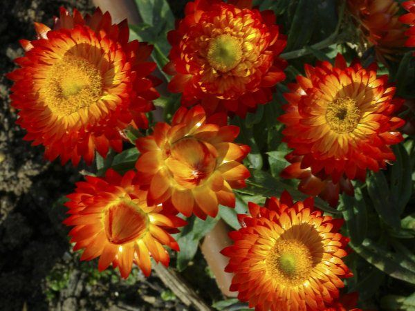 Xerochrysum 'wallaby orange'