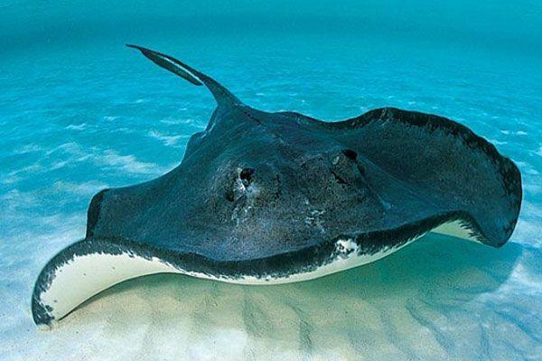 Скат.  У  пластиножаберных рыб, к которым относятся акулы и скаты, костная ткань полностью отсутствует. Они имеют хрящевой скелет, который часто обизвествлен.
