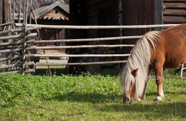 By Ann-Kristina Al-Zalimi, hevonen, horse, maalaismaisema, suomenhevonen, maatiainen, kylmäverinen, country, skandinavia