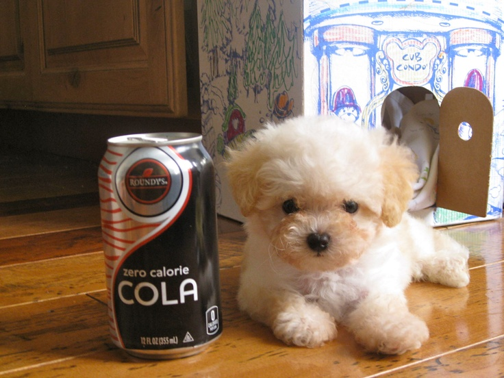 Poodle Bichon Puppy 8 wks old and only 1lb.!