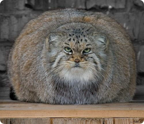 This is a manul, or pallas cat. Found in the Afghan mountains, they're one of the oldest pure-blood cousins of our own goggies.