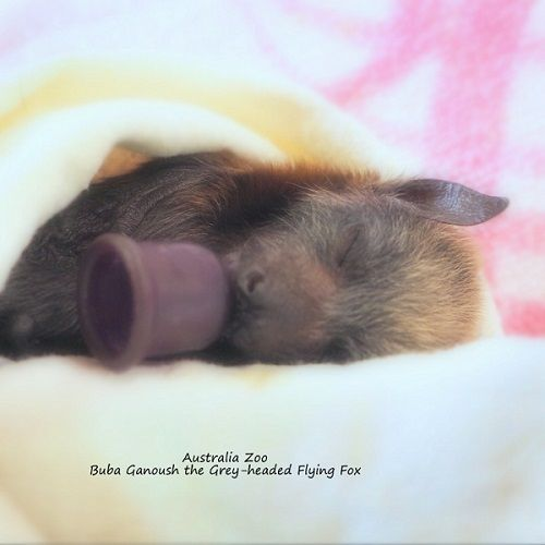 Buba Ganoush, baby Grey-headed Megabat, Flying-fox, Fruit bat, Australia Zoo