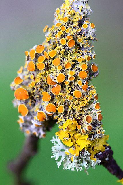 LICHEN http://homesteadbound.hubpages.com/hub/Macrophotography-of-Lichen-Macrophotographic-Images-of-Lichen
