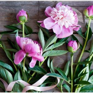 Paeonia Pink Flowers Wallpaper | pink peony flowers wallpaper