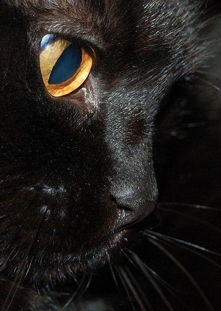 exquisite profile, beautiful black cat