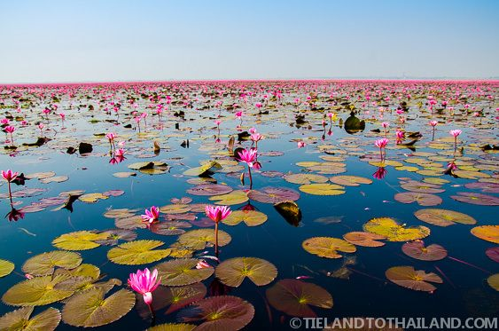 The Red Lotus Sea in Udon Thani, Thailand. Millions of red lotus flowers stretched across a 600 square acre lake in every direction
