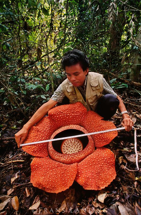 "Rafflesia arnoldii the world's largest flower. Diameter of about one meter and weighing up to ten kilograms. It's rare & not easily located, growing once a year, blooming for 5 days. The flower looks and smells like rotting flesh & is related to violets, poinsettias & passionflowers. It's nickname is ""meat flower"" or ""corpse flower"". Found in Indonesian rain forests of southeastern Asia and Philippines."