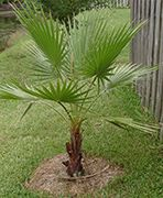 mexican fan palm - back yard, in front of hollies