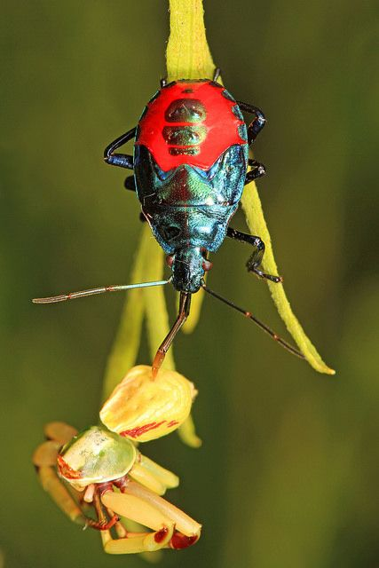 florida predatory stink bug - see more beautiful insects from North America