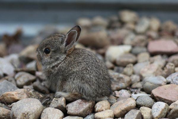 baby bunny rescue