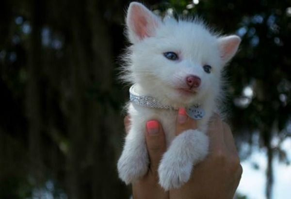 Teneri cuccioli Notizie: Ecco Rylai, la volpe domestica che ha conquistato ...