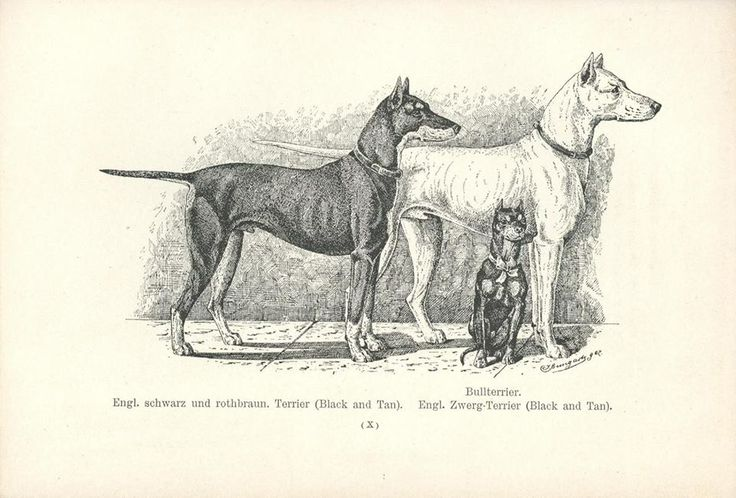 Manchester Terrier and English White Terrier - 1884