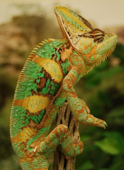 Chameleons Use Colorful Body Language To Communicate ASU researchers have discovered that color changes in chameleons convey different types of information during important social interactions. The lizards' body stripes and head colorings are particularly important during contests over territory and females.
