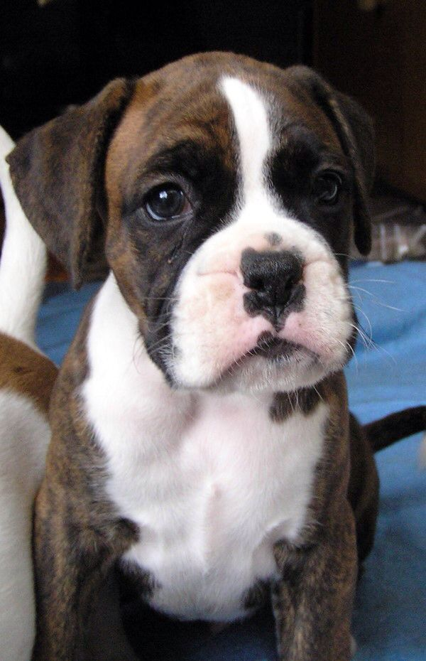 Best 25 Cute Boxer Puppies Ideas On Pinterest