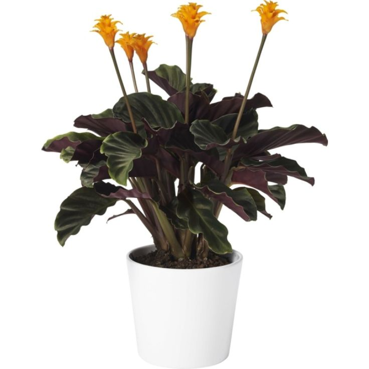 Inkakrona - Iögonfallande krukväxt med lysande orange blommor på höga stänglar. Frodigt, färgstarkt bladverk med purpurfärgad undersida. Trivs i ljust-halvskuggigt läge med jämn vattning.