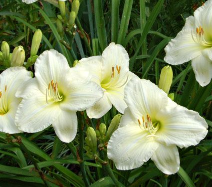 If you're looking for the whitest, near-white Daylily, search no further: award-winning 'Joan Senior' is the lightest of bunch. The 6in, ruffled blooms have a contrasting lime-green throat, and the plant may surprise you with second show later in the season.
