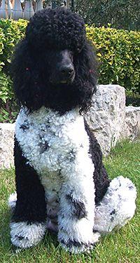 Domino, notre superbe élève chien guide d'aveugle à l'Ecole d'Eze est passé à MAGIE CANINE, salon de toilettage de Nathalie, situé à Nice, pour faire une remise en forme de sa coupe.  Notre Caniche Royal Bicolore ( appelé suivant le pays  ...