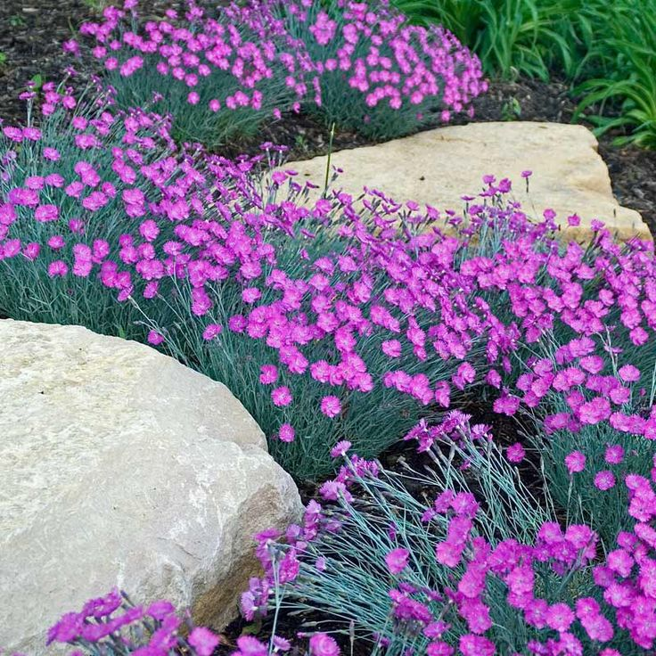 4087 best plants images on pinterest flowers garden for Perennial ground cover with pink flowers