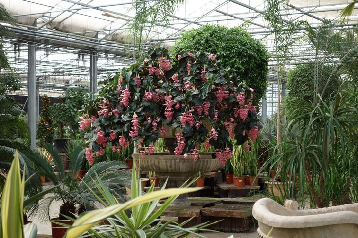 Bij tuincentrum het Oosten staat deze mega grote Medinilla mooi in bloei! :)