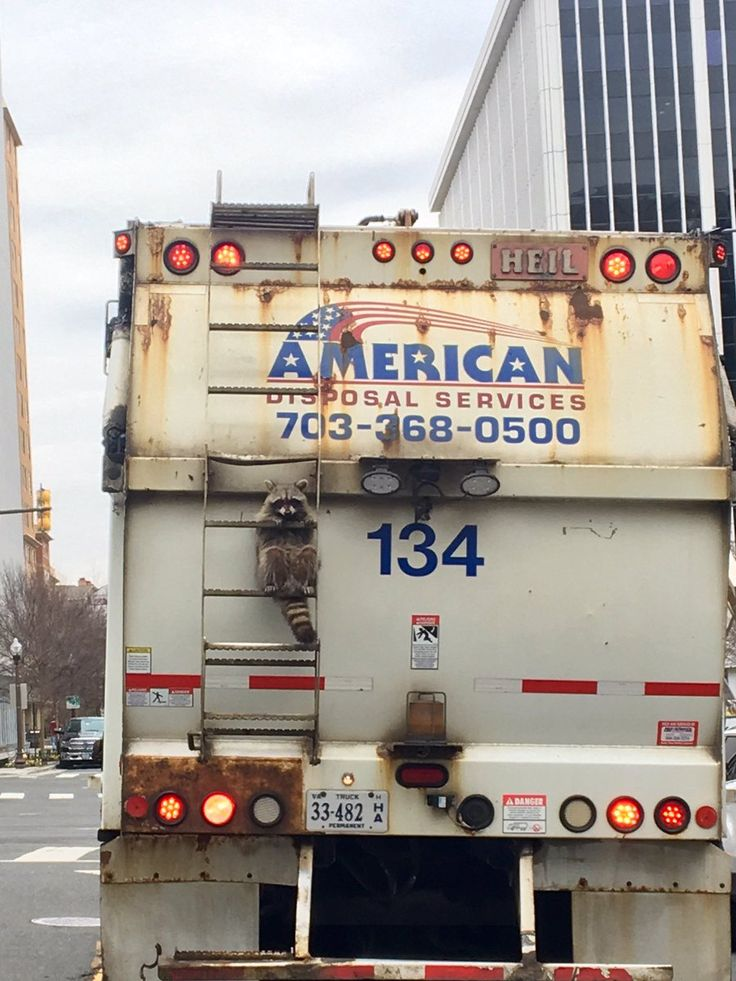 """This raccoon is having a rough morning-just wanted some trash & ended up in Rosslyn!  >And yes I alerted the driver"""