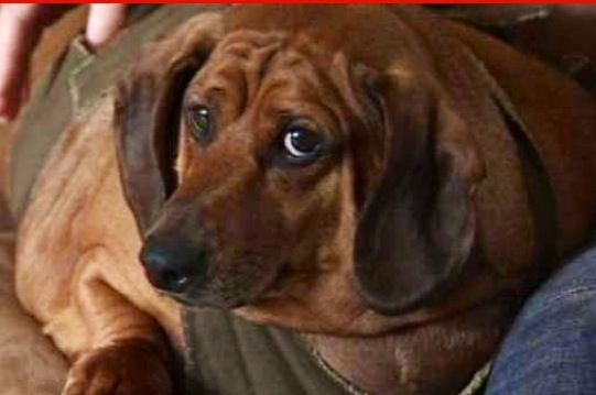 Remember Obie?  A full-grown standard dachshund weighs an average of 16 pounds. Obie once topped the scale at 77 pounds.