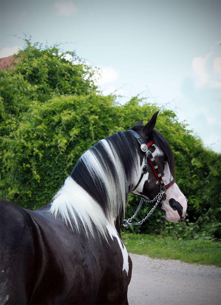 Blue Velvet | Westmoreland Gypsy Vanner Horses For Sale