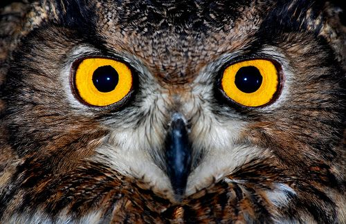 Eagle owl eyes |  Owls cannot move their eyes around and are only able to look forward. This is not a problem though, as the owl is able to rotate its head an amazing 270 degrees.