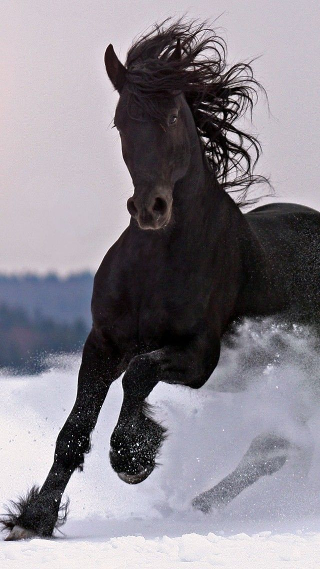 .Friesian horse stallion black baroque