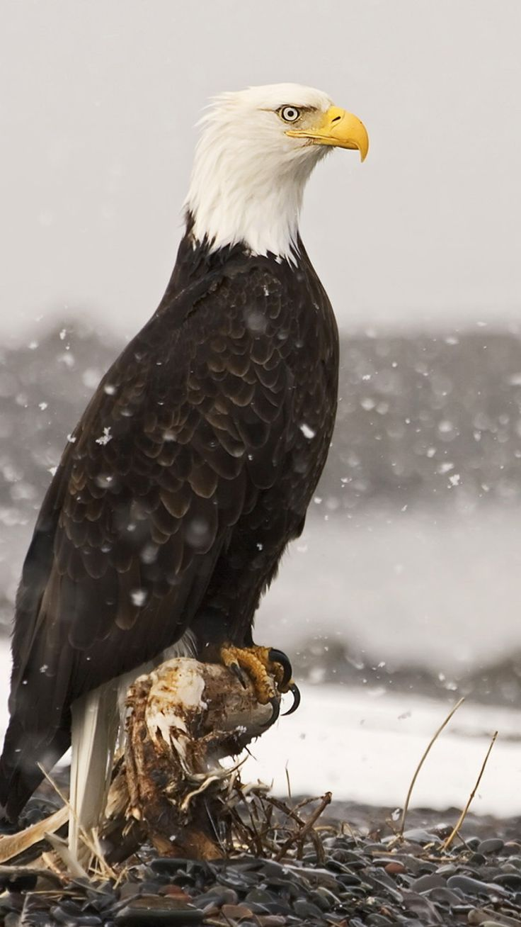 Majestic Bald Eagle - Alaska