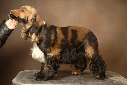 Cocker Spaniel - Somatic mutation? Merle involved?